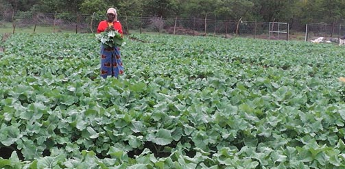 Woman inspecting her crops in a field in Zimbabwe